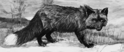 الثعلب الفضي