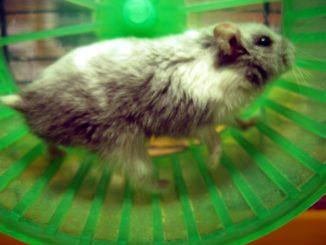 ما الذي يدعو الفئران للركض في العجلات