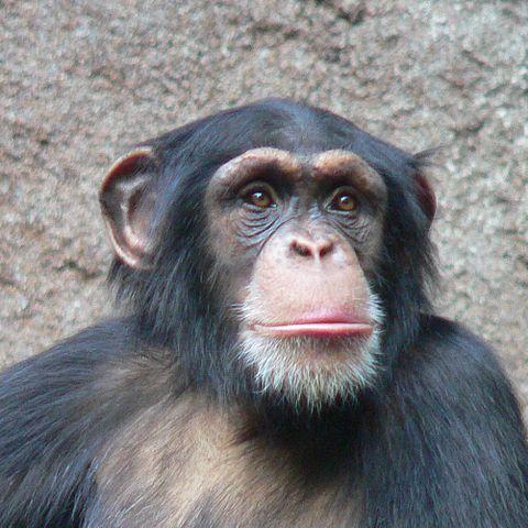 اللغة - الشمبانزي