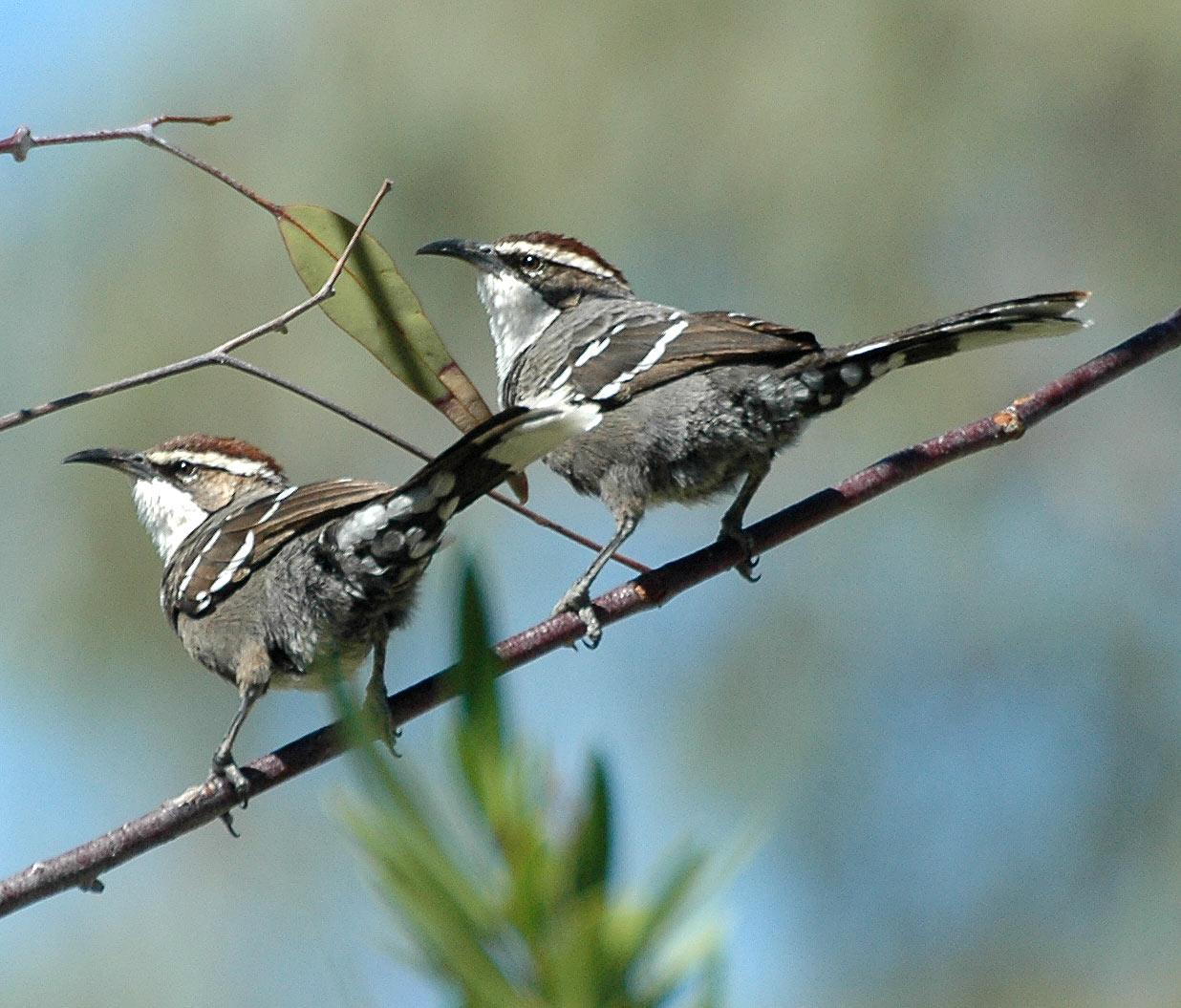 أصوات الطيور تشبه لغة البشر طائر الكستناء المتوج مثالاً