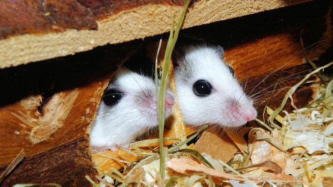 لغة الجسد عند الفئران