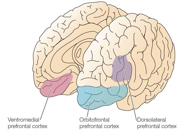 المناطق الملونة تشير إلى القشرة قبل الأمامية التي تنشَّط أثناء اتخاذ القرارات