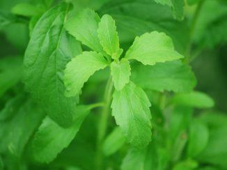 نبات ستيفيا