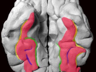 Fusiform Gyrus مناطق تمييز الوجوه