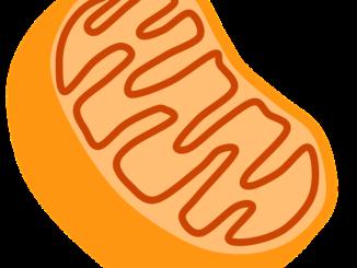المايتوكوندريا