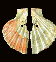 Oyster-shaped oysters are believed to be due to Neandertal