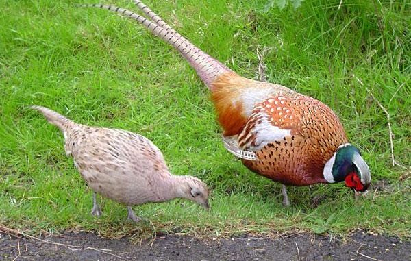 ازدواج الشكل الجنسي والتباين في أشكال الذكر والأنثى لأحد أنواع الطيور