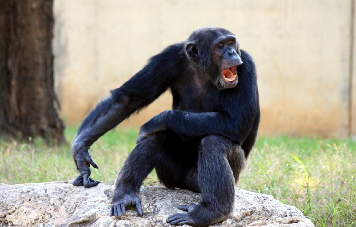 شمبانزي يصرخ