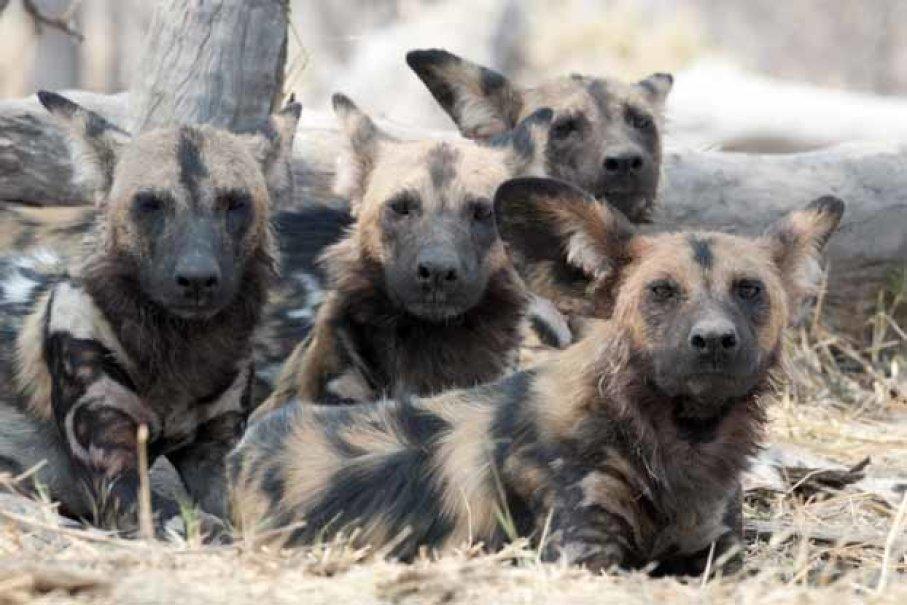 الكلاب الأفريقية