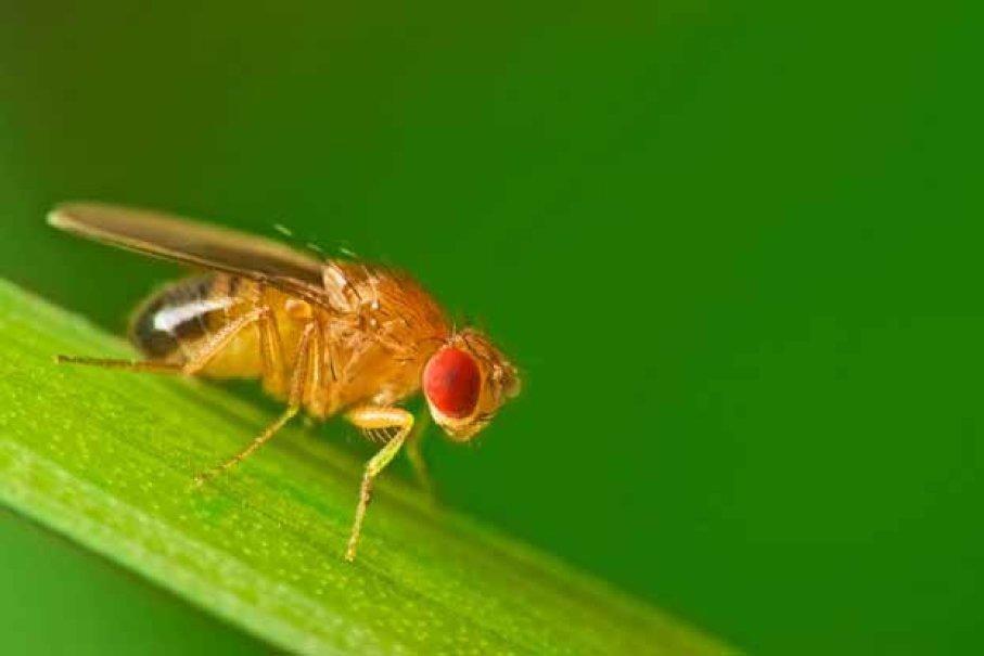 ذبابة الفاكهة