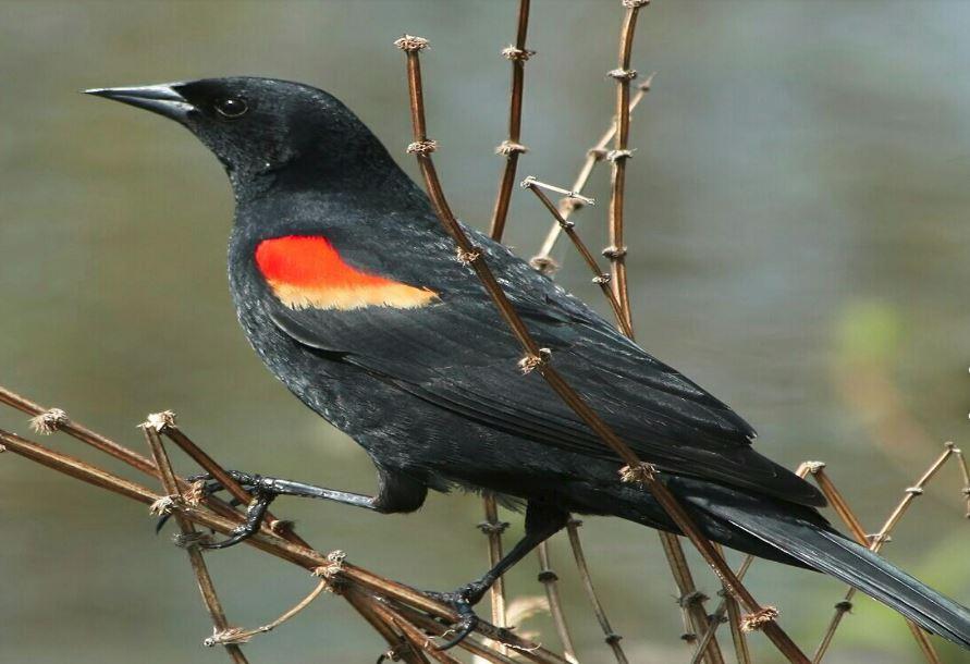 طائر الشحرور