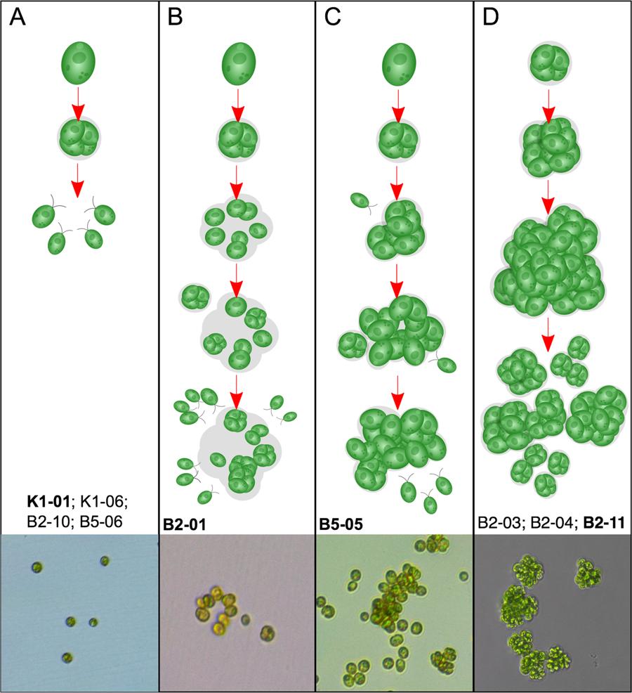 تحول كائنات احادية الى متعددة الخلايا
