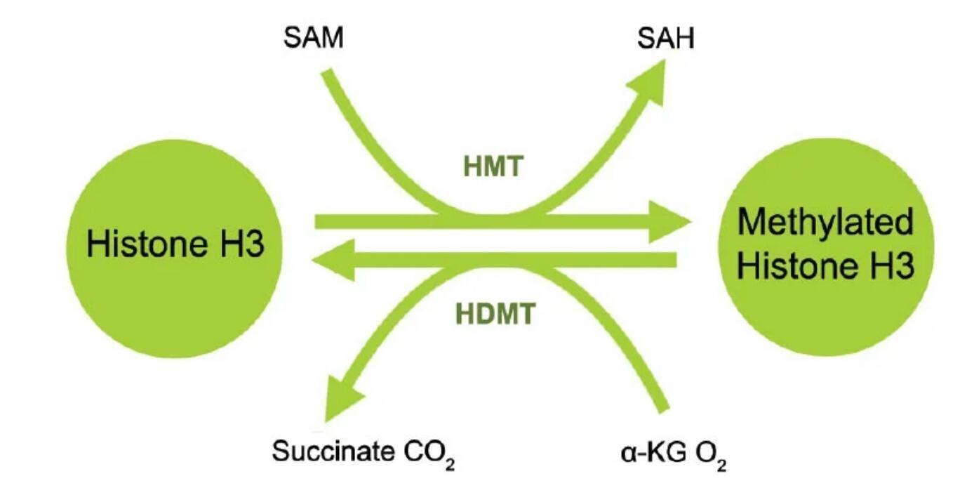مخطط يوضح الانزيمات المساعدة في عمليتي المثيلة وازلة المثيل للهستون H3.