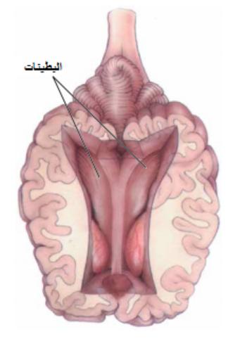 البطينات في الدماغ