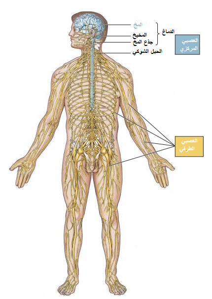 الجهاز العصبي للانسان