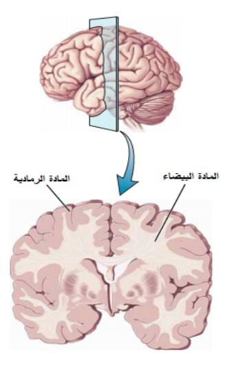 المادة البيضاء والرمادية في دماغ الانسان