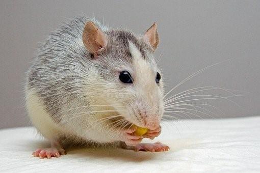 فأر منزلي
